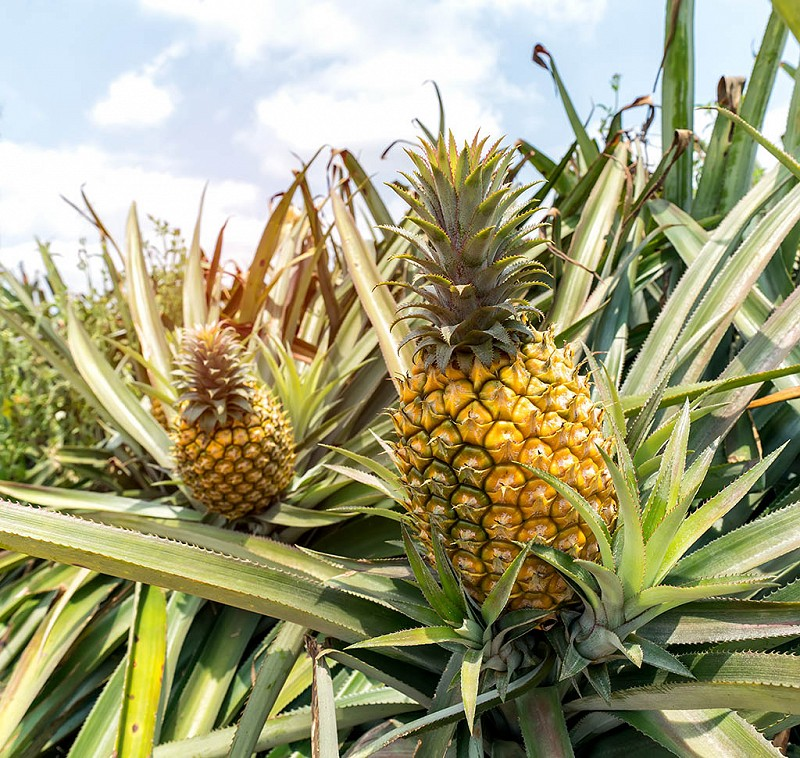 Pineapple fruit on a bush